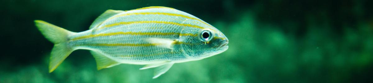 A green fish in green waters